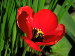 Tulip (cloversun19) Tags: garden flower macro tulip tulips bright flowers grass spring summer love story green pink warm romantic beauty glory happy positive blooming blossoming blossom bloom flowering june picture flowerimages image red may summerimage springimage plant onetulip color pollen flowerbed ground 2018