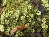Umbrella Moss? (Baractus) Tags: umbrella moss john oates mavista nature walk bruny island tasmania australia