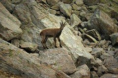 Rencontre (Camille Bau) Tags: montagne mountain chamonix alpes ibex bouquetin animal admiration passion photographie randonnée walk photo beauté alpinisme escalade nature liberté freedom alpinism climbing
