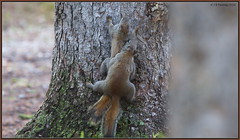 Tree huggers to the extreme (CrzyCnuk) Tags: redsquirrel alberta canon canon6d wildlife bowvalley mating treehugger