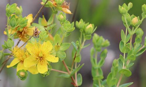 Myrtleleaf St John's-wort (Hypericum myrtifolium)
