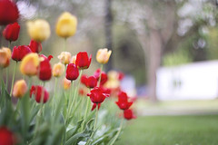 Forgive yourself for not knowing what you didn't know before you learned it. (Sandra H-K) Tags: bokeh bokehwednesday hbw flowers flora tulips nature dof depthoffield helios402 may dreamy daytime outside outdoors red yellow green spring