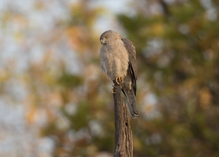 Shikra - Accipiter badius