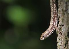 Parenti (lincerosso) Tags: lucertoladeimuri podarcismuralis rettili giardino scalate parenti bellezza armonia piccolozooselvatico