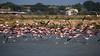 (nadiaorioliphoto) Tags: flamingos fenicotteri birds uccelli animals aves