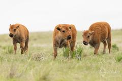 Very cute Bison calves