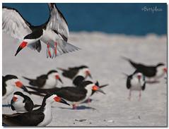 Black Skimmers (Betty Vlasiu) Tags: black skimmers skimmer rynchops niger bird nature wildlife florida