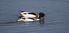 J78A0461 (M0JRA) Tags: birds flight flying wildlife rats walks gardens parks fields trees lakes ponds ducks swans rspb
