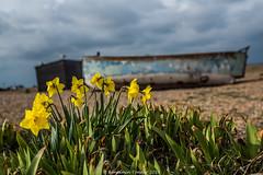 Dungeness daffodils (frattonparker) Tags: btonner boats bokeh dungeness flowersplants landscape lightroom6 nikkor50mmf18 nikond810 prime raw wrecks frattonparker daffodils yellow thebestyellow