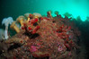ScotlandWest-201804-Oban-AulistonPt-9-Tunicate-AscidiaMentulaSeaSquirtWall (Tony J Gilbert) Tags: wwwlochalineboatscouk scotland scubadiving marine diving marinefish nikond300 60mmlens 105mmlens underwater underwaterphotography travel travelogue scottishtravel scottishscubadiving scottishlandscapes scottishwildlife