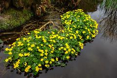 Marsh Marigolds  [Explore] (Eskling) Tags: marsh marigold calthapalustris flowers yellowlake mountstewart garden netownards greyabbey codown northern ireland
