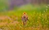 Sandhill crane baby portrait. (agnish.dey) Tags: birding bird birdwatching baby crane colt flowers florida walking nature naturallight naturephotograph grassland green dew portrait nikon ground