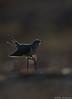 Cuckoo (Mike Mckenzie8) Tags: cuculus canorus uk wild wildlife bird parasitic migrant moor heath
