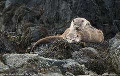 Otters (Alastair Marsh Photography) Tags: otter otters ottercub ottercubs otterfamily family sleep sleeping resting rest rock rocks coastline coast britishcoast britishcoastline scotland scottishwildlife scottishmammals scottishmammal britishwildlife britishanimals britishanimal animal animals animalsintheirlandscape wildlife britishmammals britishmammal shetland shetlandislands shetlands unst