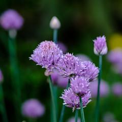 Purple dinner attachment (RIch-ART In PIXELS) Tags: chives purple flower flowering blossom flora herb fujifilmxt20 xt20 garden