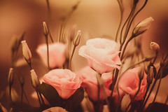 Macro Bokeh w/ Tele Lens - Sony A6000 + Zeiss ZE Planar T* 85mm f/1.4 (Teilor Lopes) Tags: sony flowers flor bokeh rose a6000 carl zeiss 85mm 14 commlite canon desfoque arte emount efmount planar t