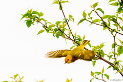 yellow warbler (myflickacct13) Tags: warbler bird yellow flight fly tree migration migrate