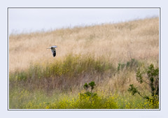 If only I had wings to fly ... (JohnKuriyan) Tags: whitetailed kite coyote hills regional park