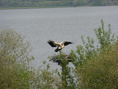 Marais d'Orx, Landes (delphinecingal) Tags: cigognesblanches storks ciconiaciconia maraisdorx landes
