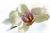 orchid, backlit (tersha53) Tags: smileonsaturday backlitcloseup orchid
