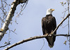 Bald Eagle_0495 (Mike Head - Jetwashphotos) Tags: eagle baldeagle symbol pittlake grantsnarrows bc britishcolumbia canada westerncanada westernregion