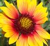 Good morning sunshine (MJRodock) Tags: orange yellow red firewheel olympusmzuikoed1240mmf28pro olympus texas padreisland