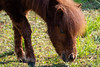 Berlin, Marzahn: Grasendes Mini-Shetlandpony - Grazing miniature Shetland pony grazing on the pasture next to the historical village (riesebusch) Tags: berlin dorf marzahn