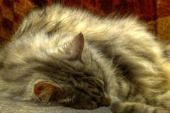 (Light Echoes) Tags: sony a6000 minolta135mmf135 hdr 2018 spring april cat chat kot gatto feline pet katze kat kalo котка gato gate gat animal 고양이 γάτα kočka 貓 القط kass kissa חתול बिल्ली miv macska kucing 猫 vighro kaķis katė qattus katten گربه pisica кошка mačka katt แมว kedi кішка بلی mèo cath rescue longhairdomestic boo bugaboo nap sleep sleeping