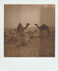 The Big Family • PolaroidWeek   Day 4/1 (o_stap) Tags: desert camels camel keepfilmalive impossibleproject polaroidfilm blackandwhite ishootfilm roidweek polaweek polariodweek polaroid600 polaroid