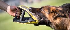 Tug of glove (zola.kovacsh) Tags: outdoor animal pet dog ipo schutzhund german shepherd old meadow sun grass