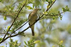 pouillot (tineandthecats@gmail.com) Tags: oiseaux arbres pouillot forêt