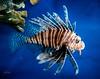 Lionfish . . . (Dr. Farnsworth) Tags: fish lionfish poisonous venomous dorsal fin colorful camo chicago il illinois spring april2018