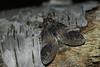 Wilgentandvlinder - Notodonta tritophus - Three-humped Prominent (merijnloeve) Tags: meijendel kijfhoek zh wassenaar gemeente nachtvlinder moth moths night macro nacht den haag hollandse duinen 5000soortenjaar 5000 soorten jaar