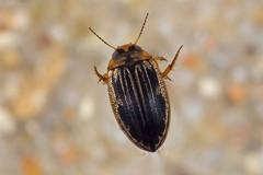Hygrotus impressopunctatus (NakaRB) Tags: insecta coleoptera dytiscidae hygrotusimpressopunctatus 2016