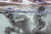 Fish Wrangling (helenehoffman) Tags: arctic bear wildlife conservationstatusvulnerable sandiegozoo mammal fish ursusmaritimus ursidae tatqiq polarbear polarbearplunge marinemammal animal