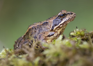 Common Frog 28th April