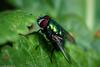 Im Botanischen Garten - Fliege beim Sonnenbad (J.Weyerhäuser) Tags: mainz botanischergarten frühling fliege blatt bug fly insekt insect