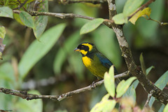 Tangara de Tatamá. (Bangsia aureocincta) Gold-ringed Tanager (Mario Alberto Salazar Araya) Tags: tatamá birding colombia endemic wildlifephotography