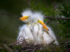 Great Egret Chicks (Jerry_a) Tags: birds wadingbirds egrets rookery staugustinerookery