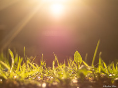 Grass (✦ Erdinc Ulas Photography ✦) Tags: lenstagger green focus macro panasonic close low angle shot bokeh lens purple yellow sun brown smooth background vintage netherlands dutch holland bergen gras nederland shining md zoom gold white