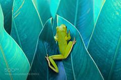 Frog in Between Leaf (KevinBJensen) Tags: dumpy frog frogs tree amphibians animals macro photography animal photos