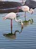 18/52 Naturaleza. Flamingos (Fernacinguer1981) Tags: flamingos naturaleza animales reflejo reflection
