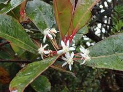 Tasmannia piperita (Hook. f.) Miers (Ahmad Fuad Morad) Tags: gunungkaingaron mountkaingaron nupakan sabah gununggakou tasmanniapiperita winteraceae