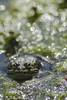 Les batraciens du Jardin des Plantes 18 (letexierpatrick) Tags: batraciens grenouille garden jardin jardindesplantes paris france europe eau extérieur explore 300mm bassin nature nikond7000 nikon bokeh
