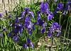 Iris sibirica (Wolfgang Bazer) Tags: iris sibirica schwertlilien botanischer garten wien vienna österreich austria blumen flowers