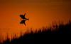 Great Egret Hunting (nikunj.m.patel) Tags: egret nature wildlife hunting birds avian chincoteague sunrise goldenhour nikon nikond850 naturephotography