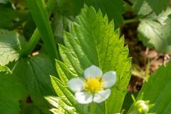Wild Strawberry Leaf - Explored (SKAC32) Tags: macromondays jagged leaf canonef100mmf28macrousm wildstrawberry
