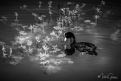 S'éteindre dans la lumière (michelgroleau) Tags: bird duck oiseau canard maui hawai pond étang extinction danger