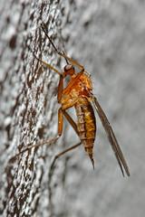 Unknown Diptera sp. (docoellerson) Tags: schnake macro freehand metazoa eumetazoa arthropoda insecta diptera