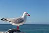 Silver Gull on Heron Island (til213) Tags: australia australien heronisland silvergull vogel bird